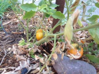 Everlasting Tomatoes