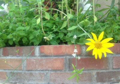 Reaching Sunflower